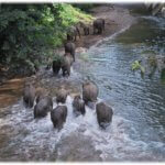 A herd of elephants crossing a river in Sabah, Malaysia - photo credit Daim Balingi, Sabah Forestry Department.jpg